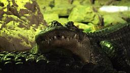 Crocodiles 1 Stock Video Footage