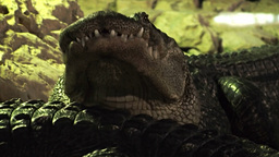 Crocodiles 1 Stock Video Footage