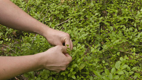 Man Gathering Bilberries In The Forest stock footage