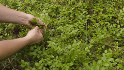 Man gathering bilberries in the forest Stock Video Footage