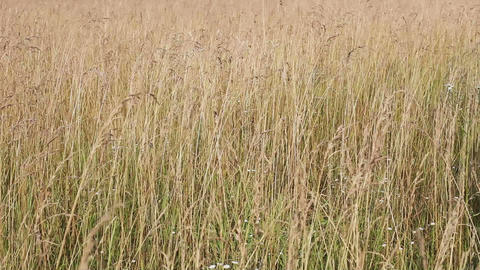 Yellow withered grass field closeup view Stock Video Footage