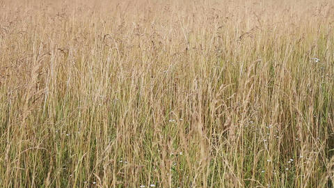 Yellow withered grass field closeup view Footage