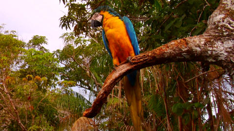 A parrot sits in a tree in the rainforest Stock Video Footage