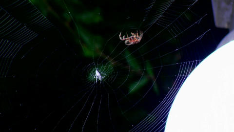 A spider builds a web Footage