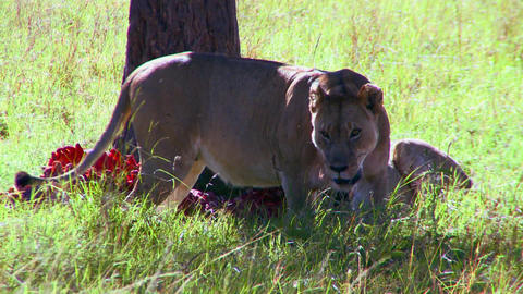 Lions eat their prey on the African savannah Stock Video Footage