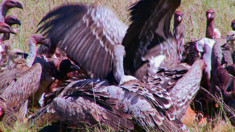 Vultures feed on dead carrion on the African savan Stock Video Footage