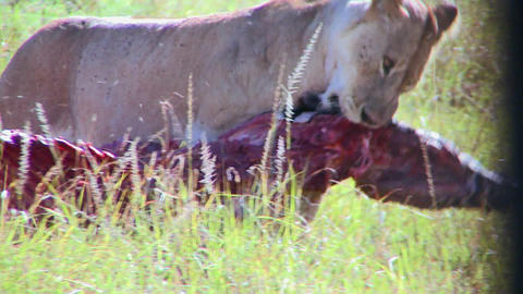 A big cat eats prey on the African savannah Footage