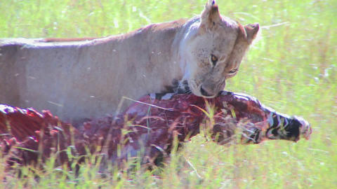 A big cat eats prey on the African savannah Stock Video Footage
