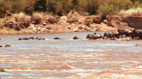 Wildebeest cross a river during a migration in Afr Footage