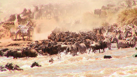 Wildebeest cross a river during a migration in Afr Stock Video Footage