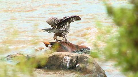 Vultures stand on a rotting corpse in a river Stock Video Footage