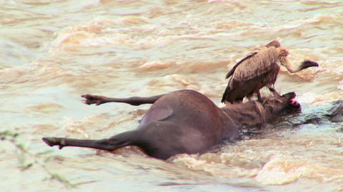 A vulture sits on a rotting corpse of a wildebeest Footage