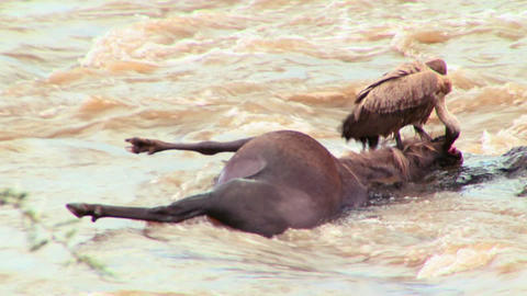 A vulture sits on a rotting corpse of a wildebeest, Live Action
