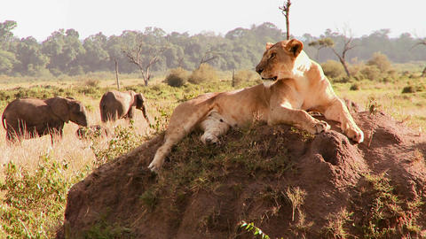 A beautiful lion poses on a rock in Africa Footage
