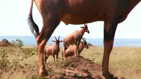 Elands or hartebeest pose on rocks in Africa Stock Video Footage