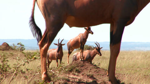 Elands or hartebeest pose on rocks in Africa Footage