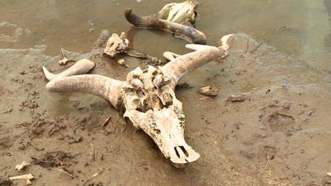 The skull of a dead wildebeests sit in a river in Stock Video Footage