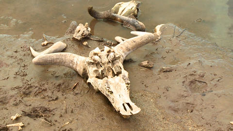 The skull of a dead wildebeests sit in a river in  Footage