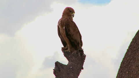 A hawk sits on a branch in Africa Stock Video Footage