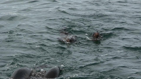 Seals swim and play in the ocean Stock Video Footage