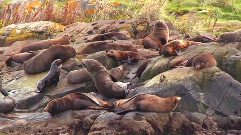 Seals amass on a beach Stock Video Footage