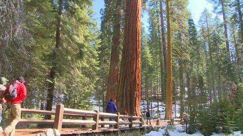 Hikers walk near giant Sequoia trees in Yosemite N Stock Video Footage