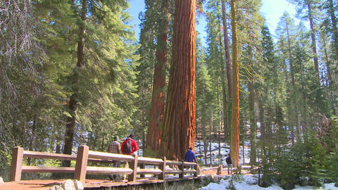 Hikers walk near giant Sequoia trees in Yosemite N Footage