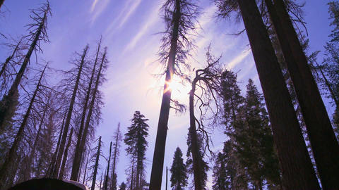 Low angle shot looking up at Giant Sequoia trees b Stock Video Footage