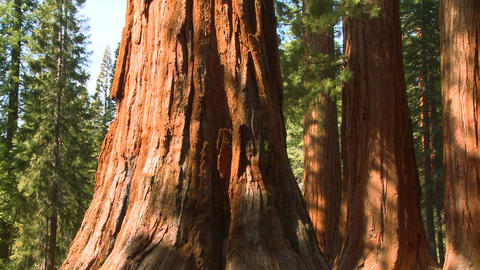 Giant Sequoia trees in Yosemite National Park Stock Video Footage