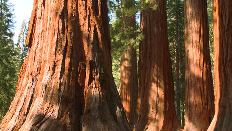 Giant Sequoia trees in Yosemite National Park Footage