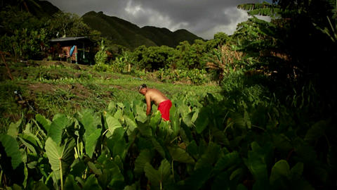 A rising shot over fields show a native Hawaiian m Stock Video Footage