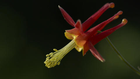 A blooming columbine near the Sierra Buttes in Tah Stock Video Footage