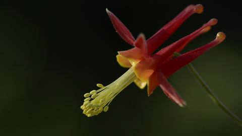 A blooming columbine near the Sierra Buttes in Tah Footage