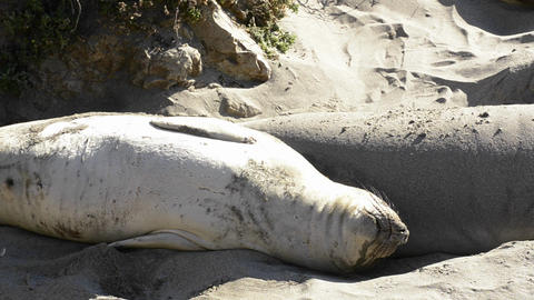 Northern Elephant Seals sunning on the beach at Pi Stock Video Footage