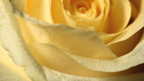 Yellow Roses 0