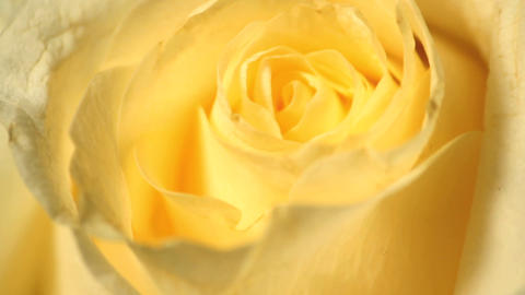 Yellow roses Stock Video Footage