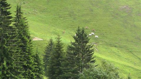 European Alps Kitzbuhel Austria Aerial 38 cows Stock Video Footage