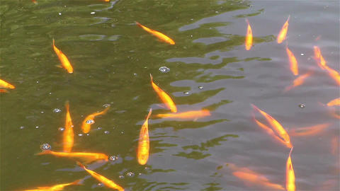 Gold Fish 1 Stock Video Footage
