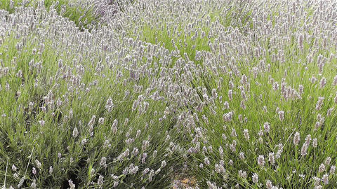 Lavender 1 Stock Video Footage