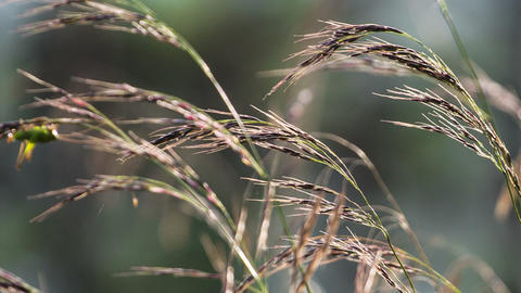 Macro of yellow grass swaying in the wind. Autumn. Stock Video Footage