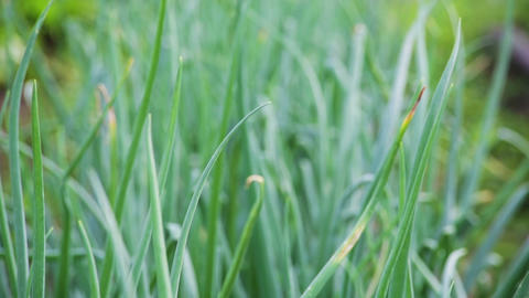 Green onion leaves macro. Shot in RAW, wide dynami Stock Video Footage