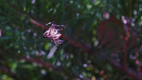 Two Fighting spiders Stock Video Footage