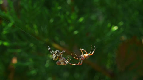 Fighting spiders Stock Video Footage