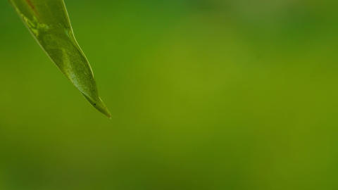 Drops falling from green narrow leaf Stock Video Footage