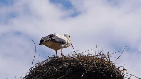 Stork standing in the nest Footage