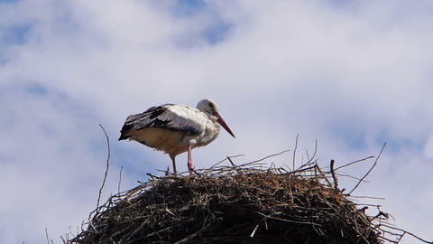 Stork standing in the nest Stock Video Footage