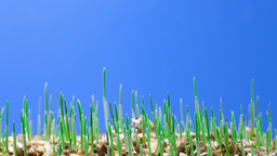 growth of green grass plants Animation