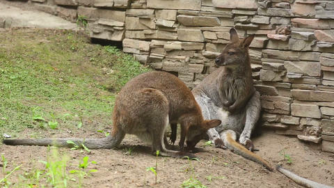 Kangaroo Stock Video Footage