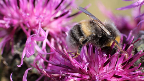 Bumblebee on a flower Stock Video Footage