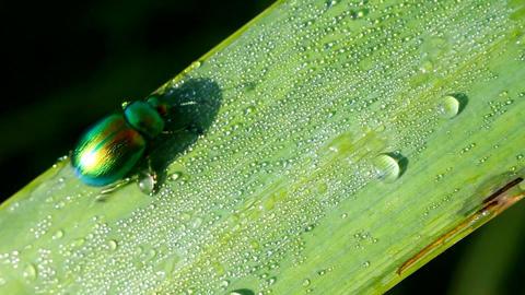 leaf beetle macro Stock Video Footage